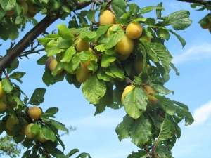 Pershore yellow eggs on tree