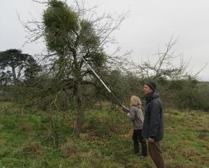 Harvesting mistletoe