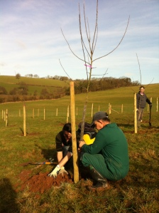 Planting 2 and 3 year old 'maidens' at  Houghton Farm Feb 2013