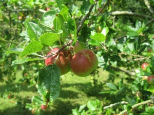 Spur Bearing And Tip Bearing Fruit Trees Orchard Origins