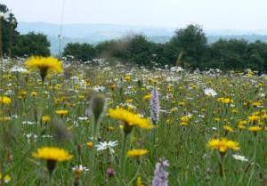 Wildflower meadows at Pentwyn Farm, Gwent