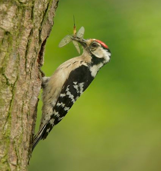 Lesser spotted woodpecker eating